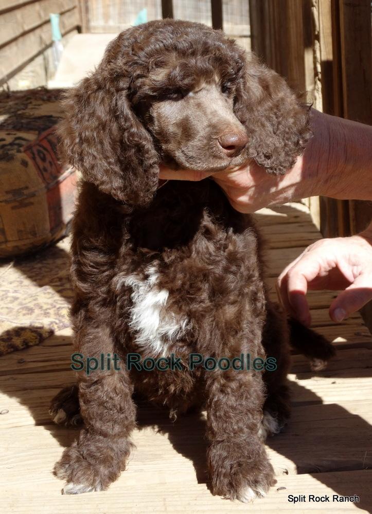 Split Rock Standard Poodles